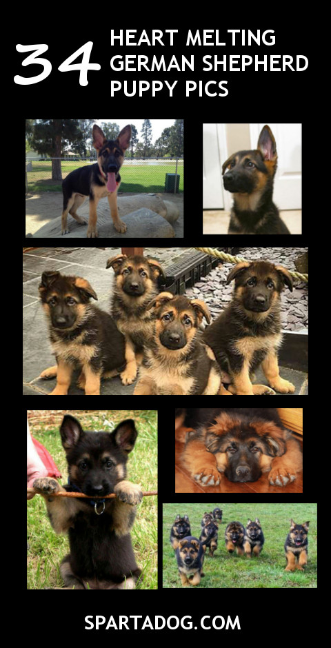 34-gsd-puppies